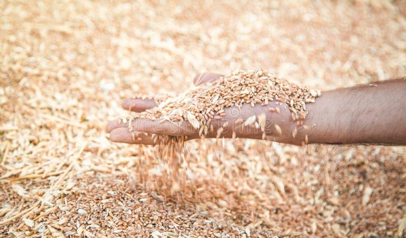 Male hand holding wheat grain stock photos
