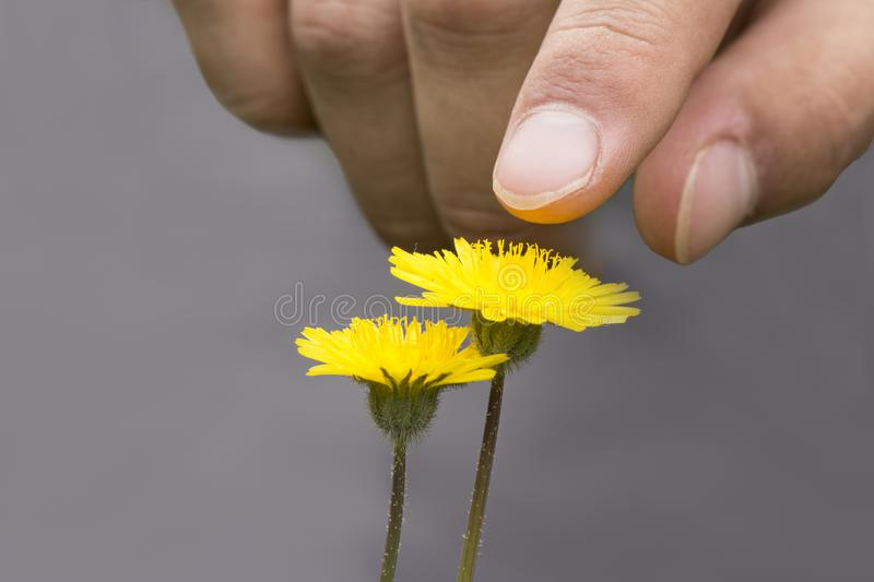 A male hand touching or pointing dandelion flowers. In front of gray background stock photos