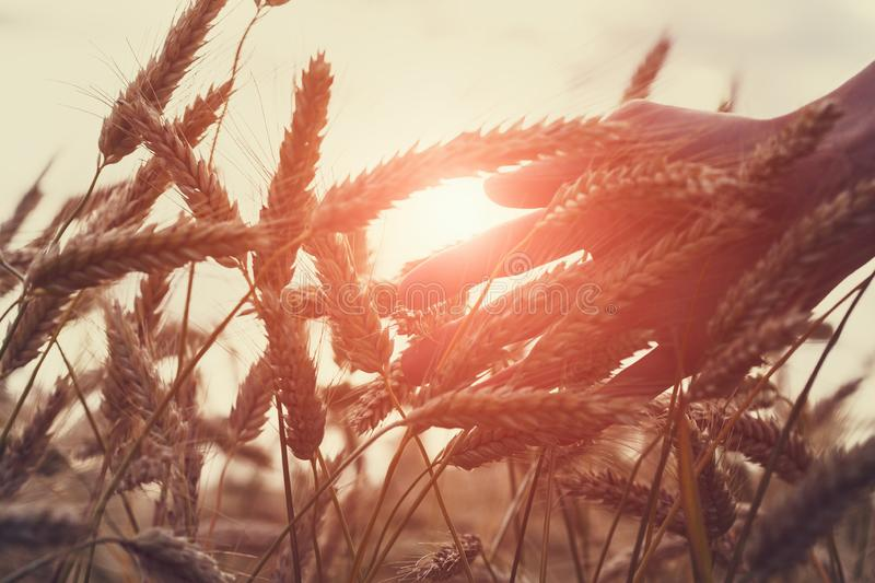 Male hand touching wheat ears close up, sunset scene, backlight, freedom, healthy lifestyle, organic farming royalty free stock photo