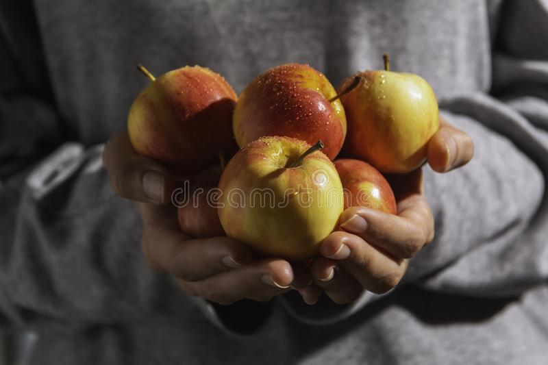 Male hands holding freshly harvested apples. Fruit and healthy concept stock photos