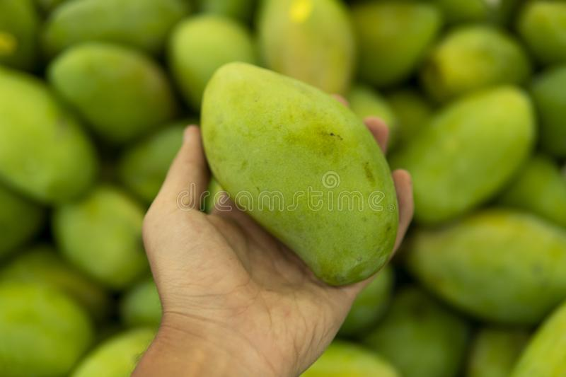Male hands holding a green juicy fresh mango fruit with a lot of green mangoes on a background. Group of fresh green stock photo