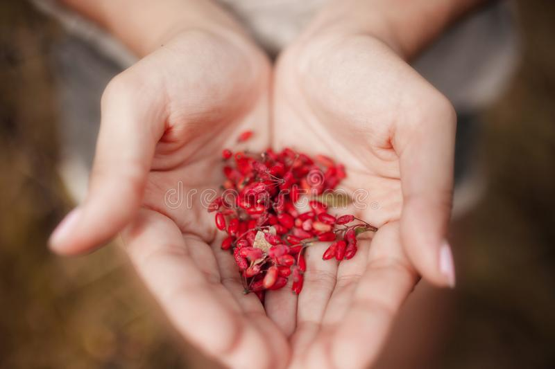 Male hands holding red cornel berries cornelian cherries close up defocused background summer. Bright handful fresh wild royalty free stock images