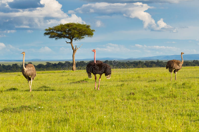 Male and Harem Common Ostrich Plus Masai Mara Landscape. Standing in the wild landscape of Kenya's Masai Mara, is a male Common Ostrich with his harem of two royalty free stock photography