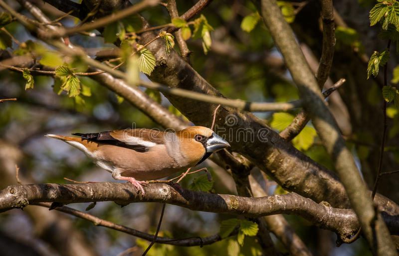 Male Hawfinch, Coccothraustes coccothraustes bird sitting on branch stock image