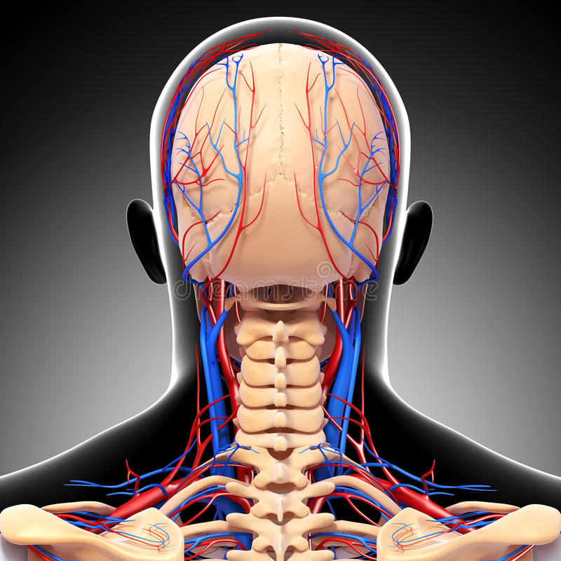 Male Head Back View Circulatory System In Gray Stock Images