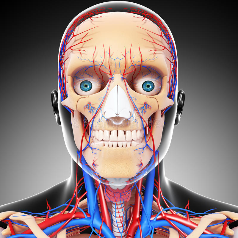 Download Male Head Front View Circulatory System In Gray Stock Illustration - Image: 26688297