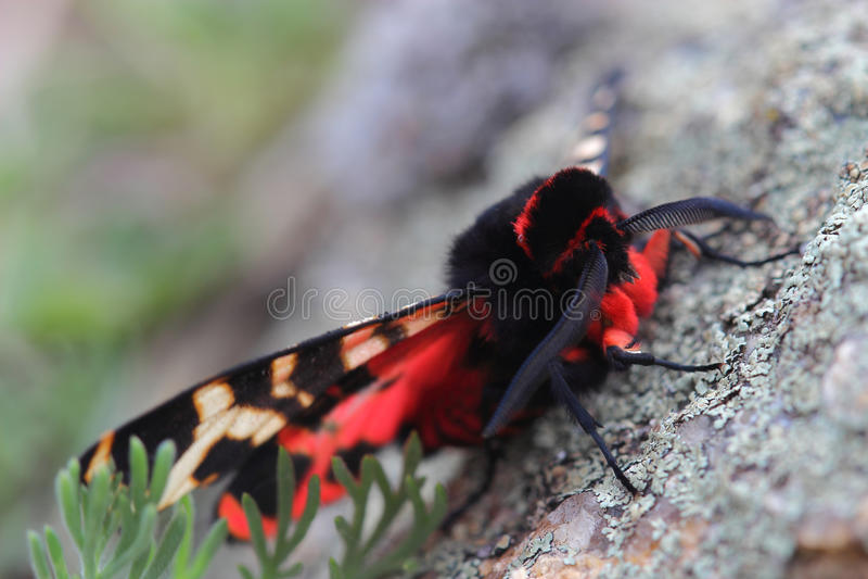 Male of Hebe Tiger Moth (Arctia festiva). Closeup royalty free stock photo
