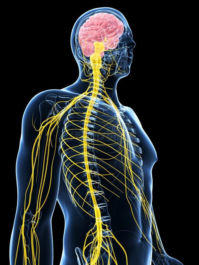 Male highlighted nerve system vector illustration