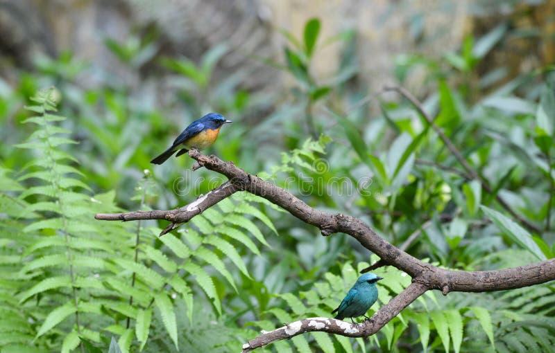 Hill Blue, Verditer Flycatcher, Wild bird in Vietnam stock photography