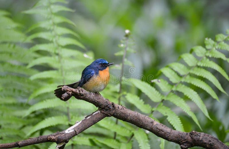 Hill Blue Flycatcher male, Wild bird in Vietnam stock photos