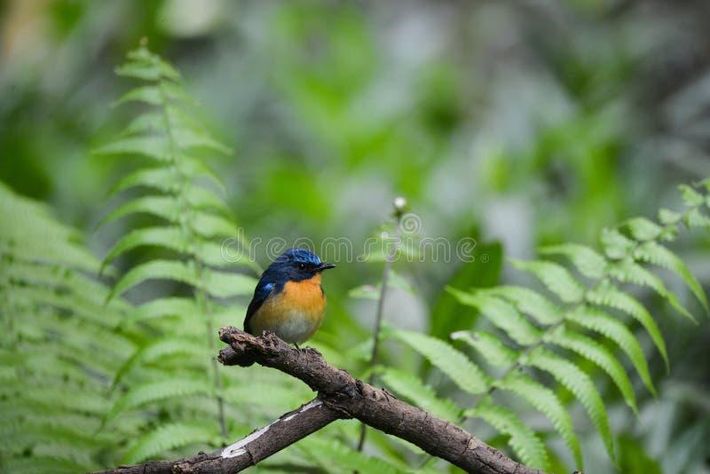 Hill Blue Flycatcher male, Wild bird in Vietnam royalty free stock images