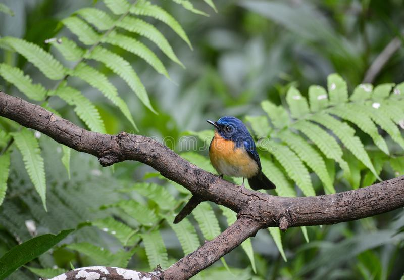 Hill Blue Flycatcher male, Wild bird in Vietnam royalty free stock images