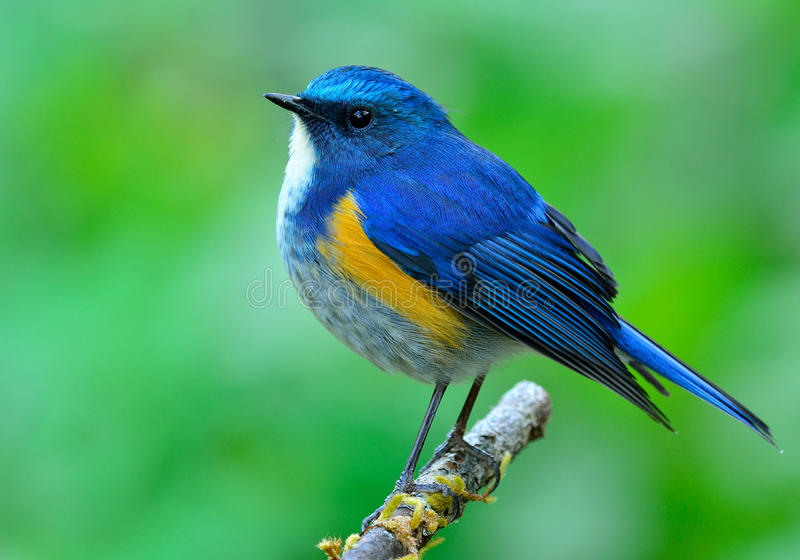 Male of Himalayan Bluetail (tarsiger rufilatus) the beautiful bl royalty free stock image