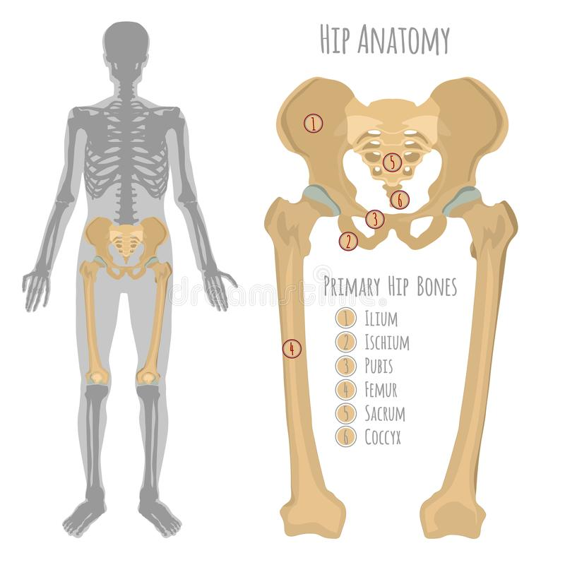Male Hip Bone Anatomy Stock Vector Illustration Of Care 106592633