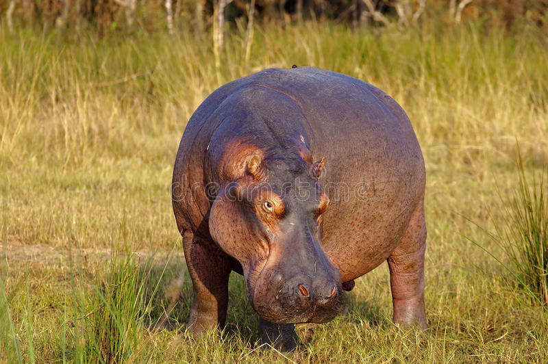 Male Hippopotamus royalty free stock image