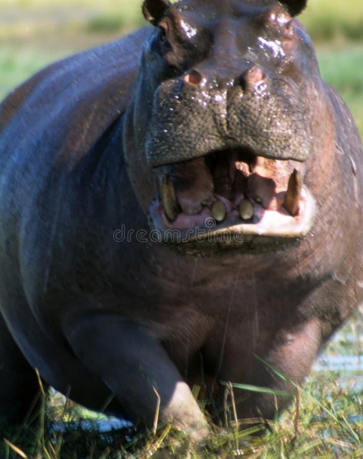 Male hippopotamus defending his ground royalty free stock image