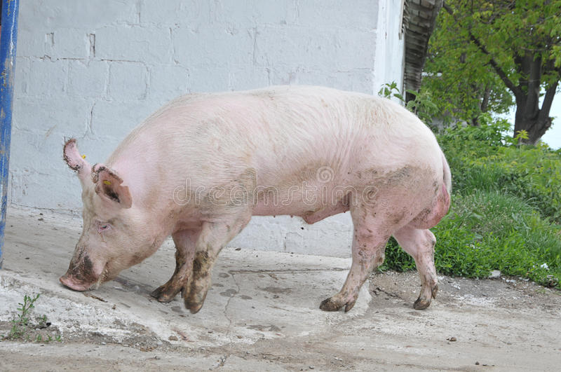 Male hog. Of breeds Great White on the walk stock images