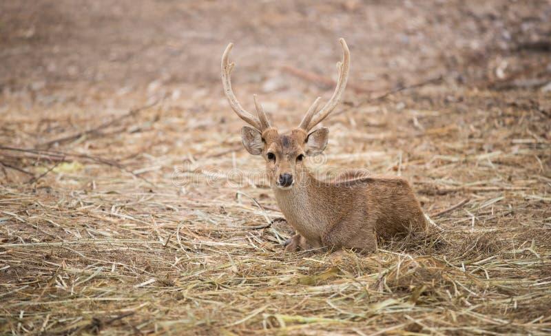 Male hog deer. Hog deer or Hyelaphus porcinus royalty free stock images