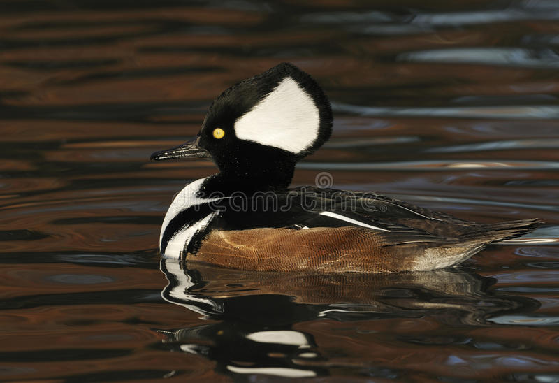 Download Male Hooded Merganser stock image. Image of nature, wetland - 17418117
