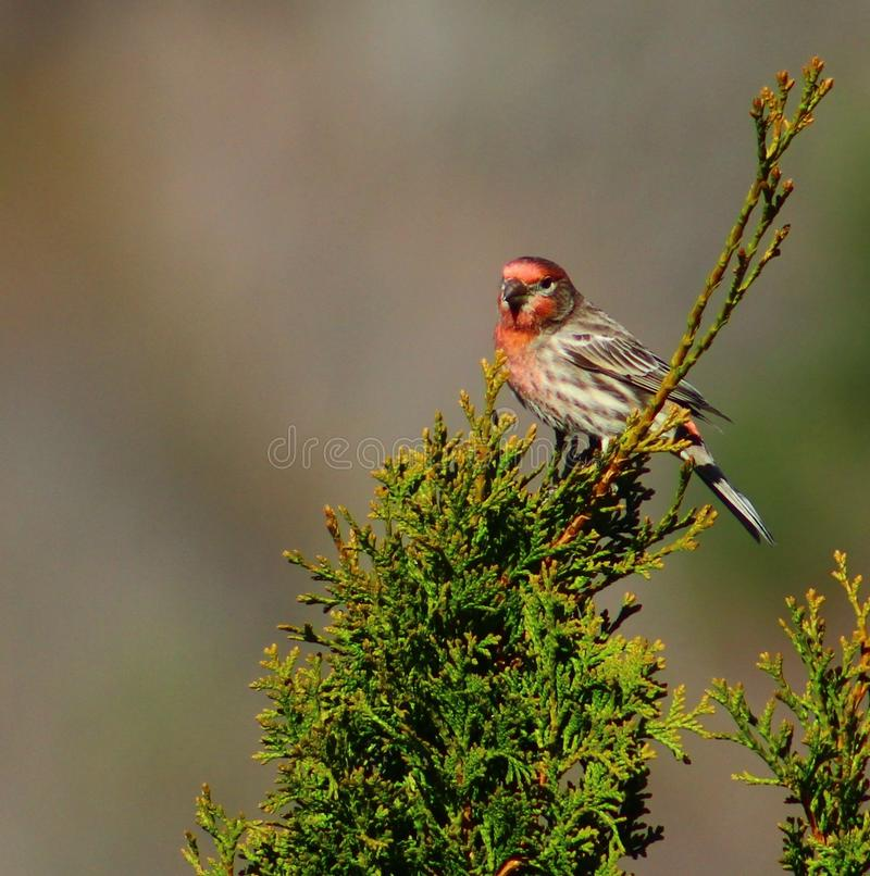 Male House Finch Perched atop a Northern White Cedar Tree. A beautiful House Finch casually perched atop a Northern White Cedar tree in northeastern Pennsylvania stock image