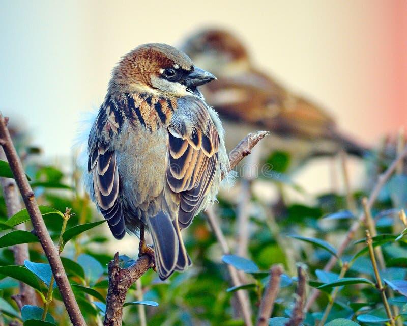 Male House Sparrow royalty free stock photos