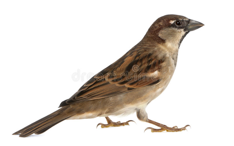 Download Male House Sparrow stock photo. Image of house, brown - 24708324