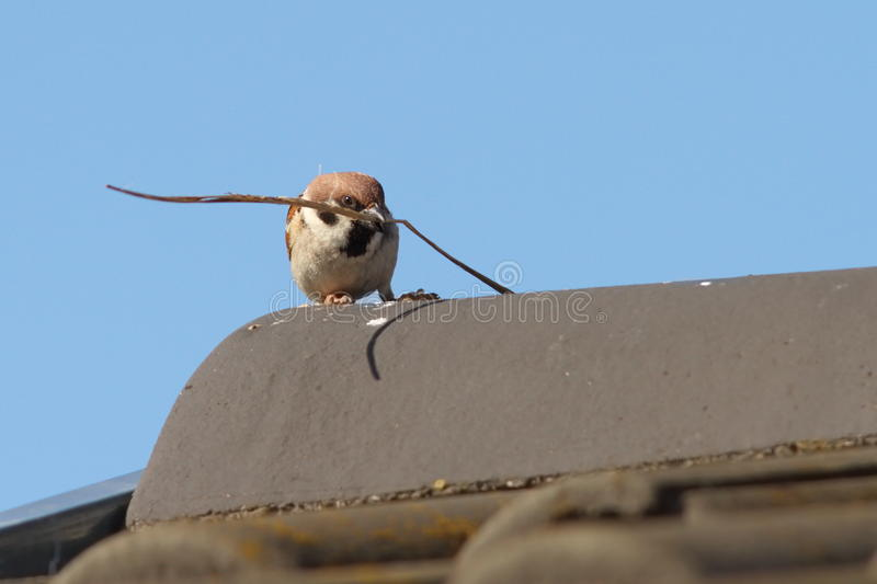 Male house sparrow collecting material for nesting royalty free stock photography