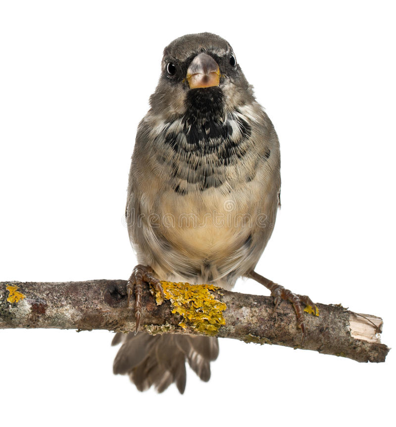 Free Male House Sparrow, Passer Domesticus, 4 Months Royalty Free Stock Photo - 22928975