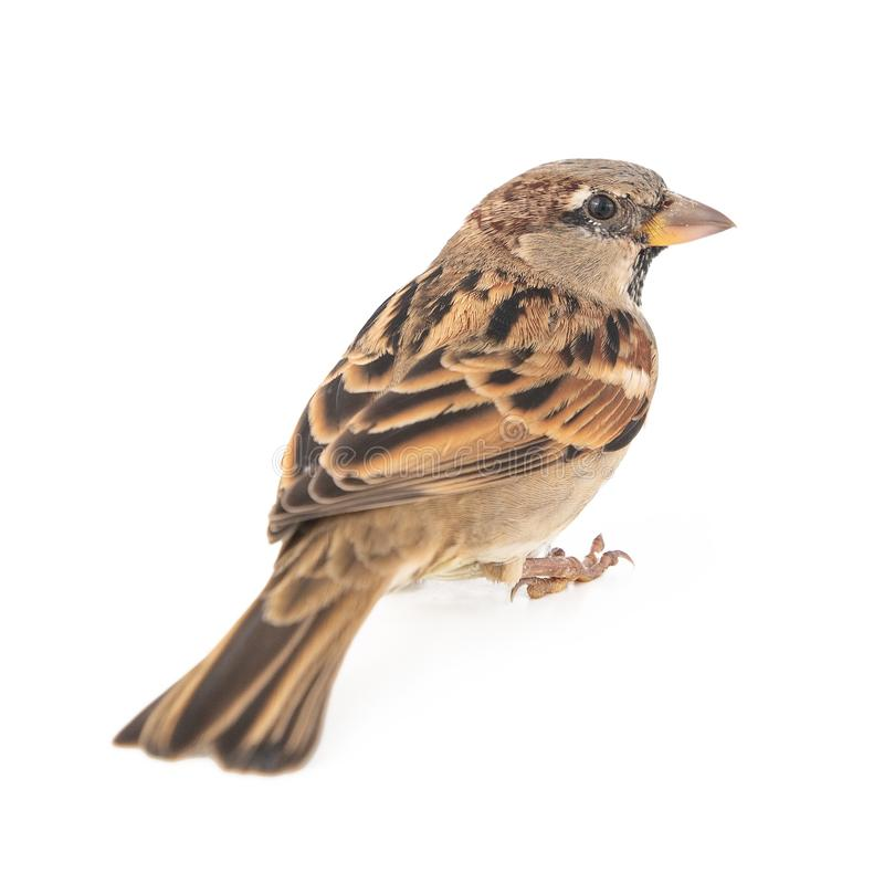 Male House Sparrow passer domesticus isolated on a white background.  stock photos
