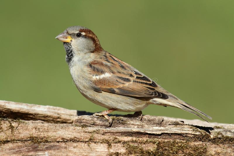 Male House Sparrow royalty free stock images