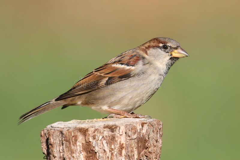 Male House Sparrow royalty free stock image