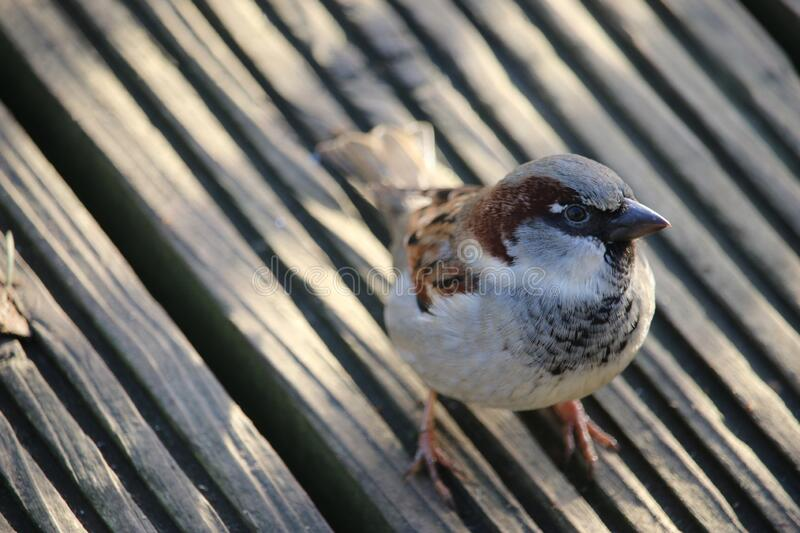 Male house sparrow on wooden decking stock photography