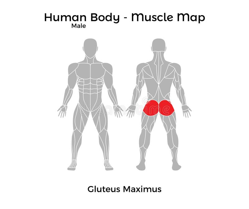 Male Human Body - Muscle Map, Gluteus Maximus Stock Vector ...
