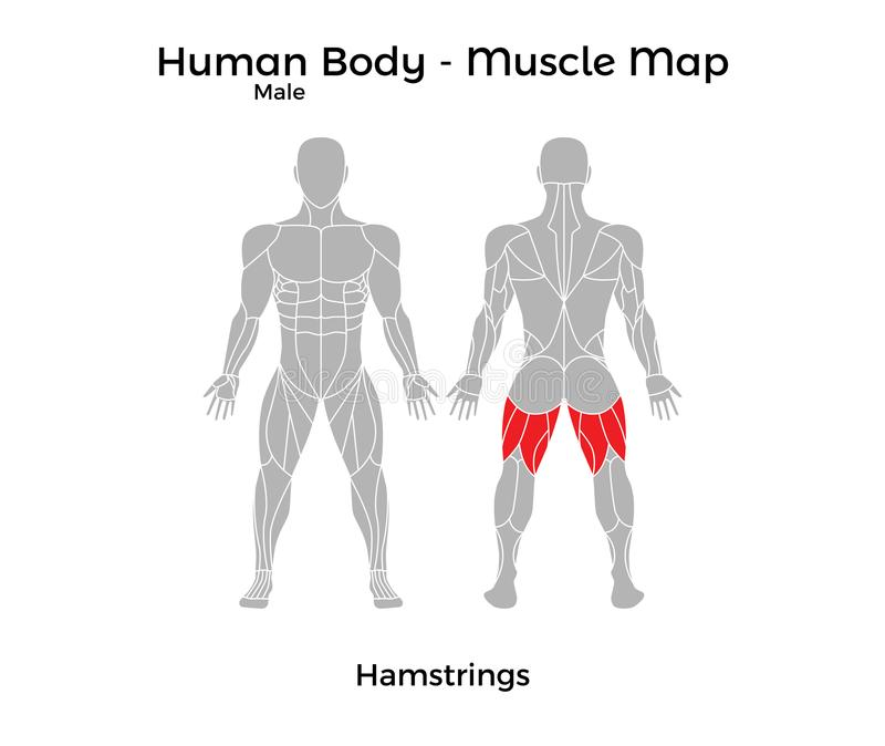 Male Human Body Muscle Map Hamstrings Stock Vector