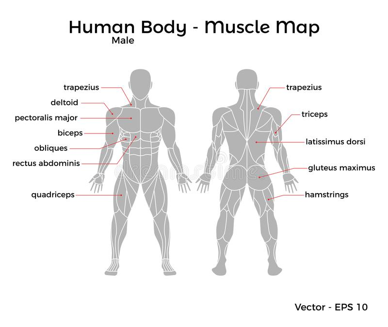 Male Human Body Muscle map royalty free illustration