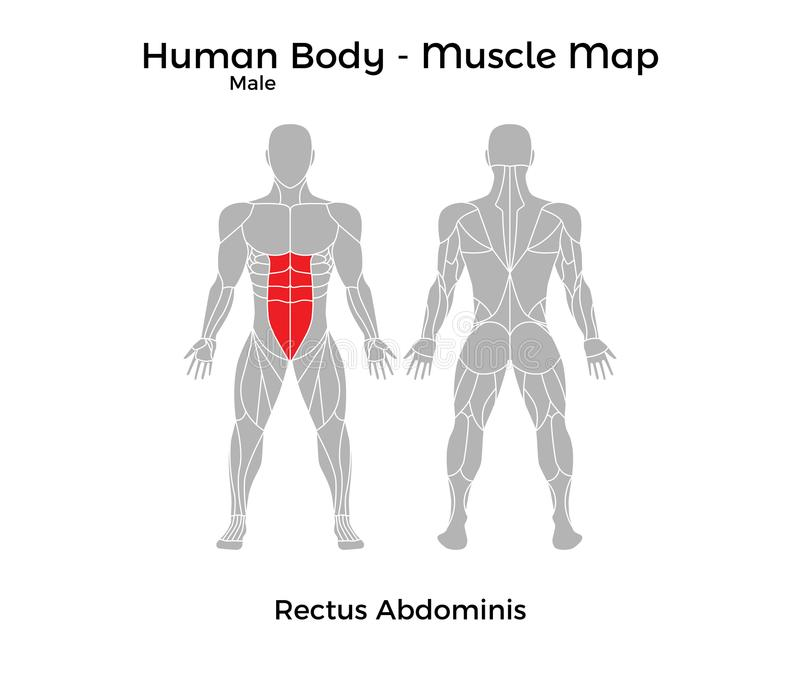 Male Human Body - Muscle Map, Rectus Abdominis Stock Vector ...