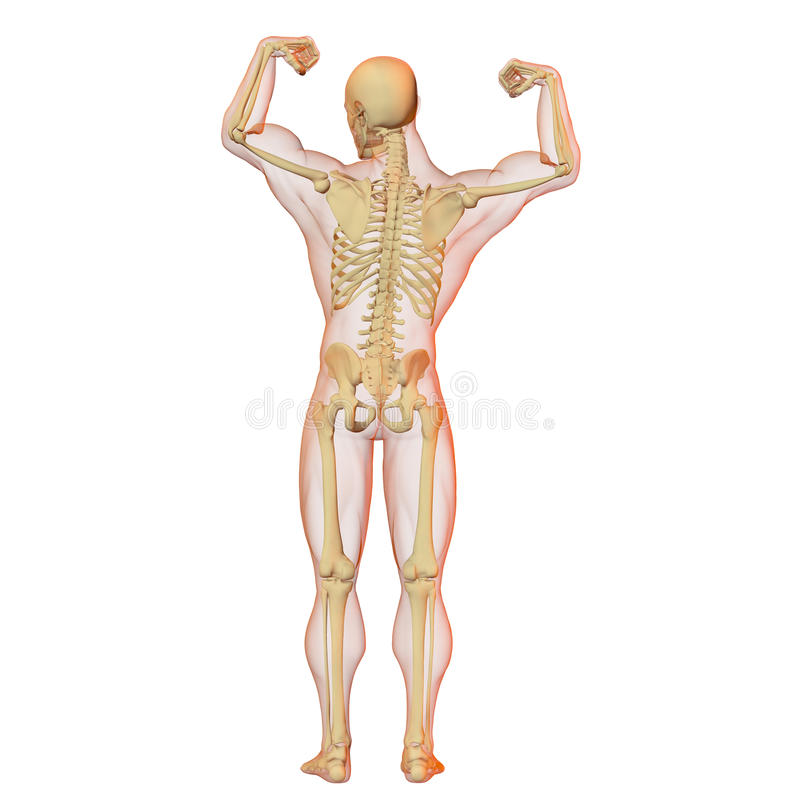 Download Male Human Body And Skeleton. Stock Image - Image: 16787561