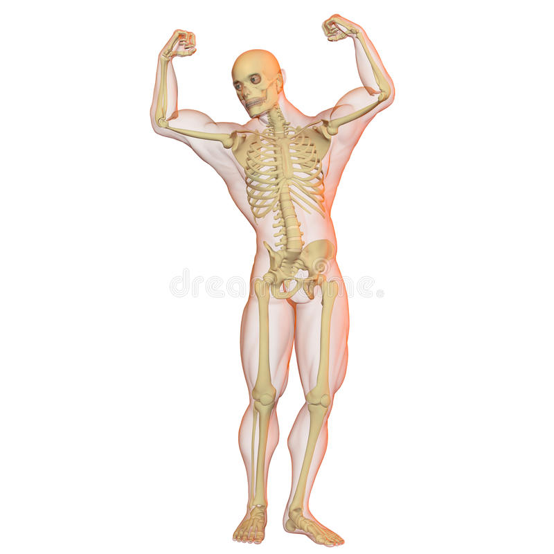 Male human body and skeleton. royalty free illustration