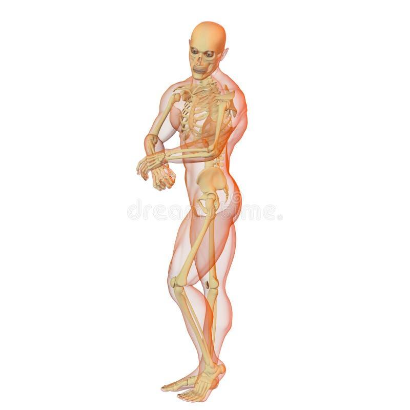 Male human body and skeleton. stock illustration