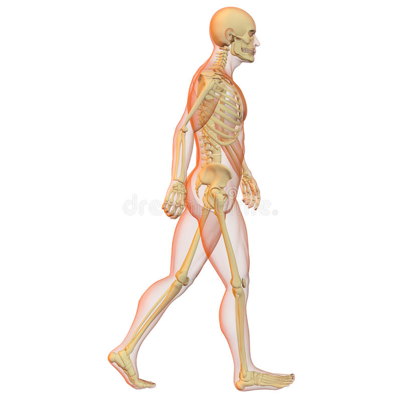 Male human body and skeleton. vector illustration