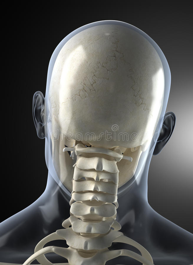 Download Male Human Head X-ray From Back Stock Illustration - Image: 18771814