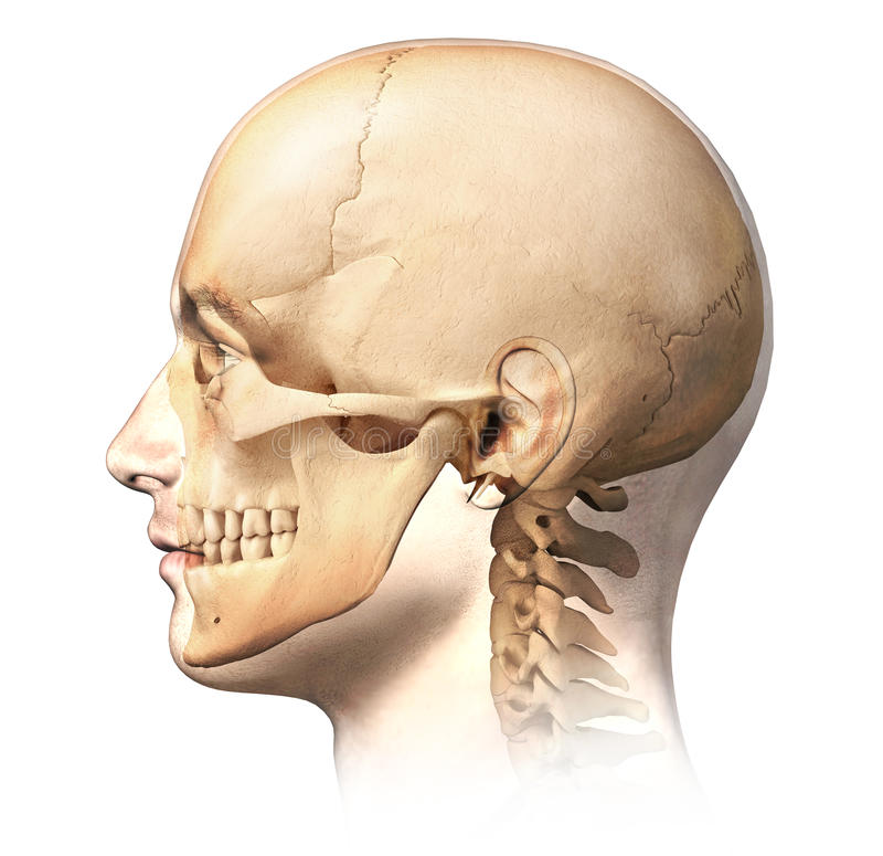 Male Human Head With Skull In Ghost Effect Side View Stock