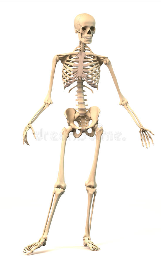 Male Human skeleton, in dynamic posture, front view. vector illustration