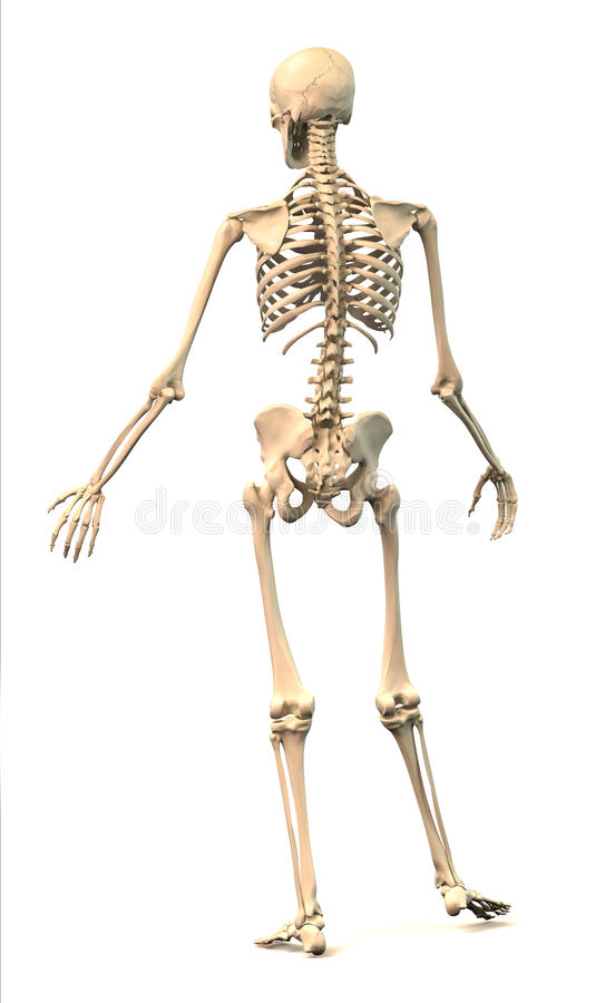 male human skeleton, in dynamic posture, rear view. royalty free, Skeleton