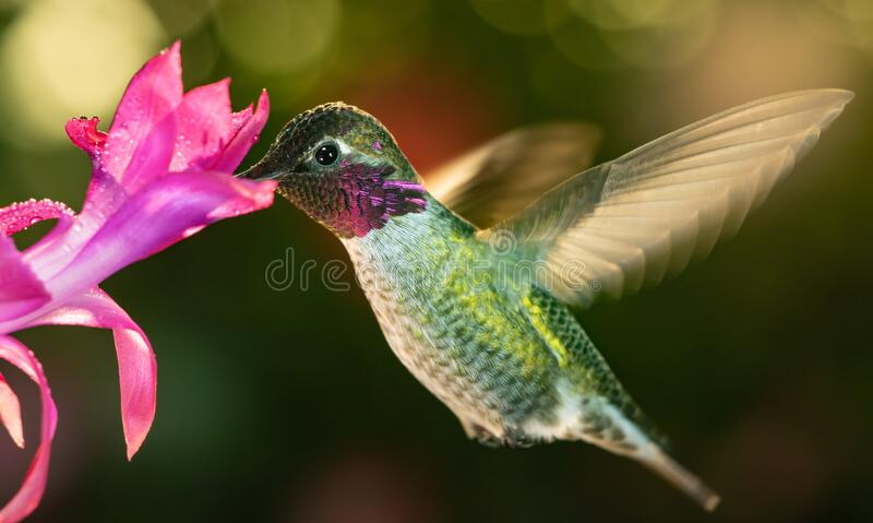 Male hummingbird with colorful feather visiting the pink flower. This is a photograph of a male hummingbird with colorful feather visiting the pink flower stock images