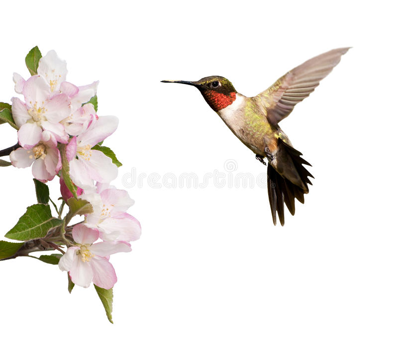 Male Hummingbird hovering next to light pink apple blossoms. Isolated on white stock photo