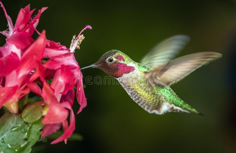 Male hummingbird visits pink flowers with dark green background royalty free stock image