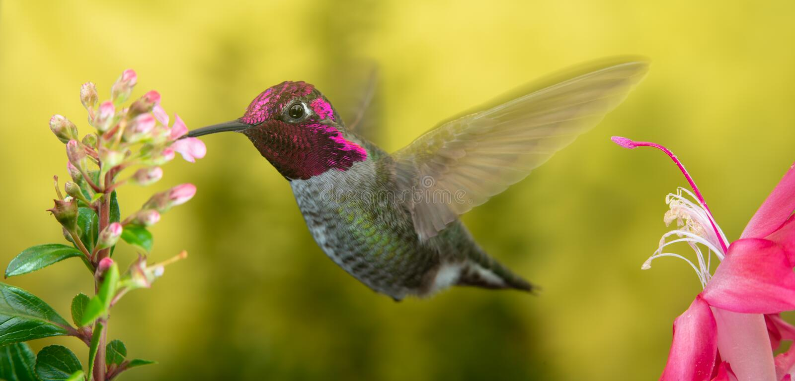 Male hummingbird visits pink flowers stock photos
