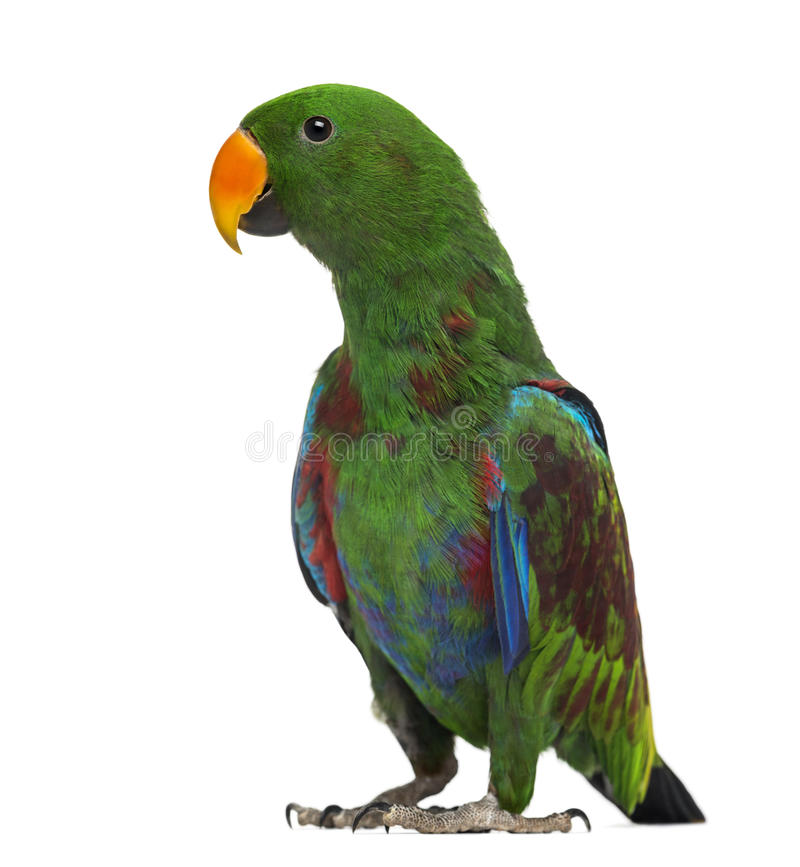 Free Male Hybrid Eclectus Parrot (7 Months Old) Royalty Free Stock Photography - 41994767
