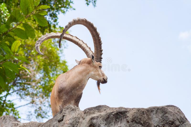 Male Ibex on a cliff showing side profile and full large horns and beard against blue sky royalty free stock photo